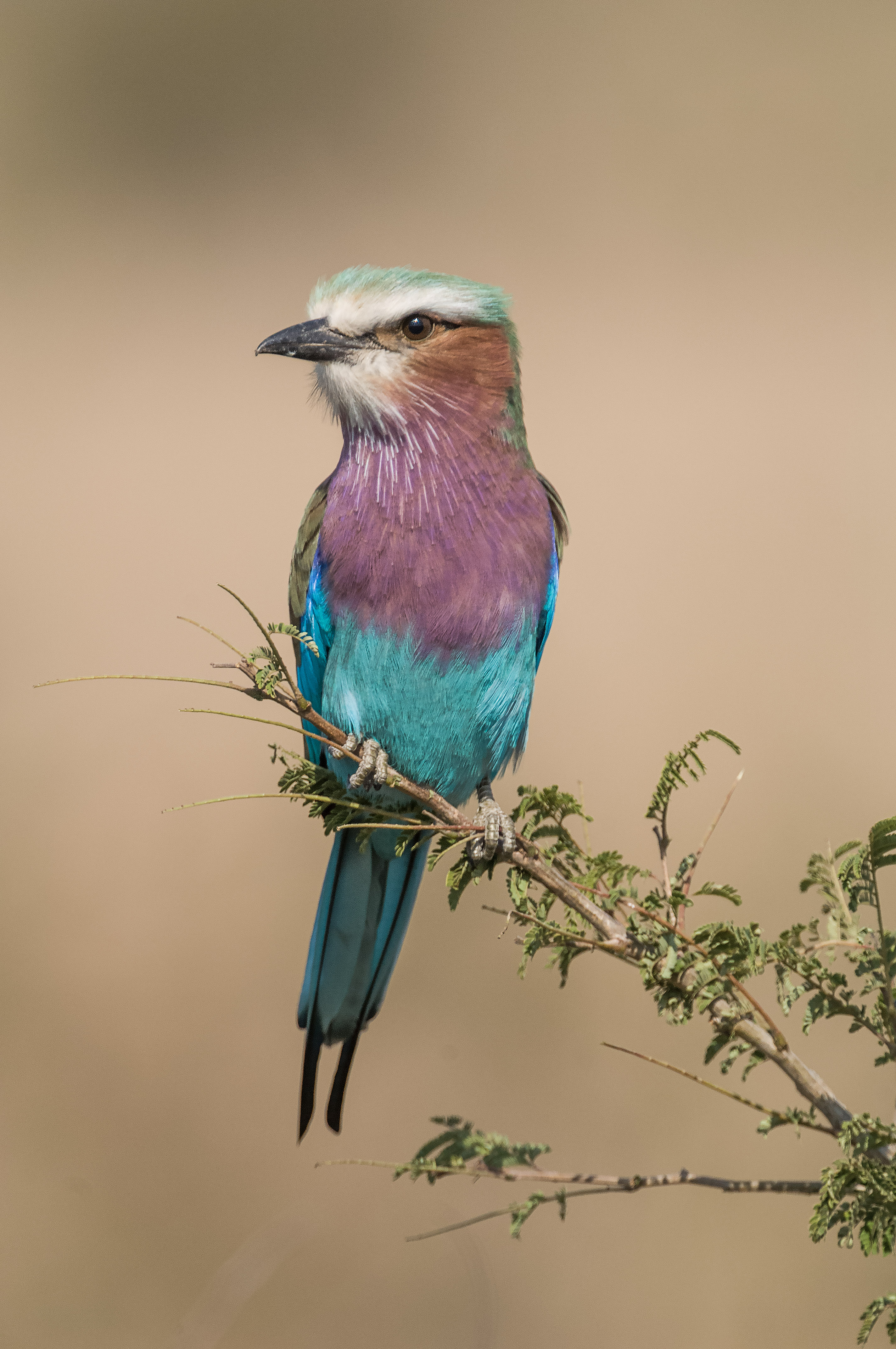 IvanRothman-Lilac Breasted Roller